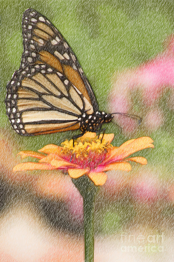 Monarch Butterfly Color Pencil Drawing by Jill Lang