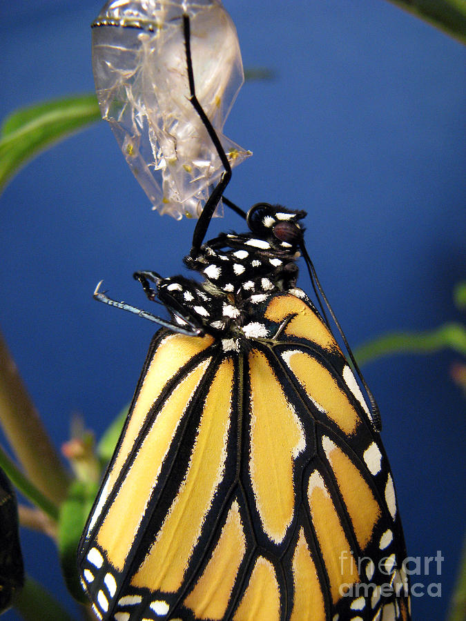 Monarch Butterfly Emerging From Chrysalis Photograph