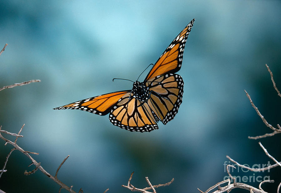 Image Gallery monarch flying