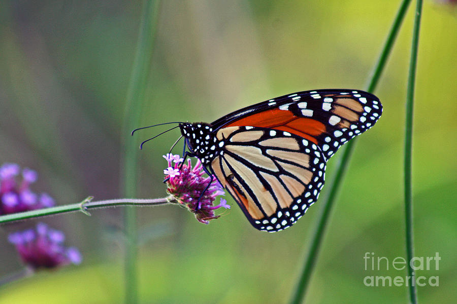 Monarch Butterfly In Garden Photograph  - Monarch Butterfly In Garden Fine Art Print