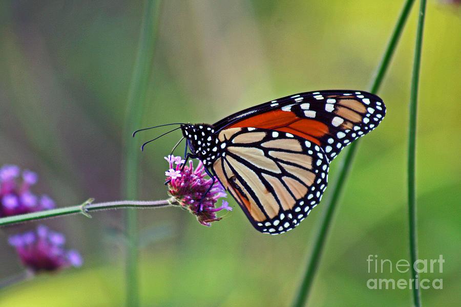 Monarch Photograph - Monarch Butterfly In Garden by Karen Adams