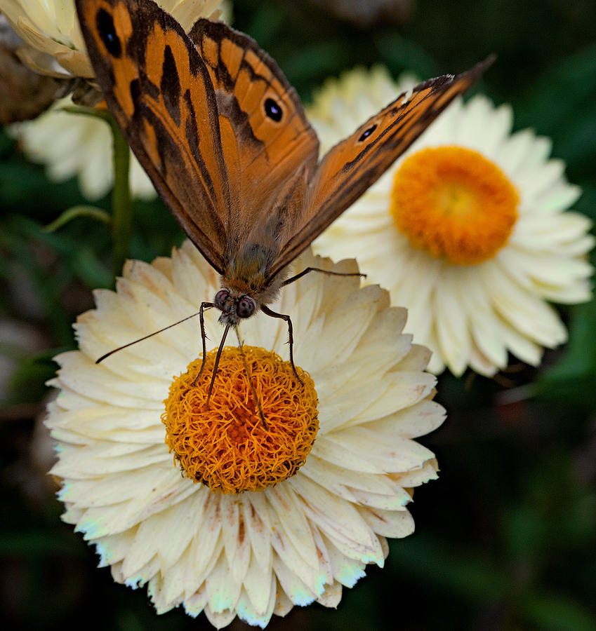 Monarch Butterfly On Paper Daisy Photograph