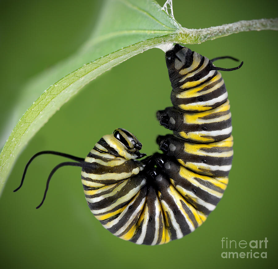 Monarch Caterpillar Monarch caterpillar photograph