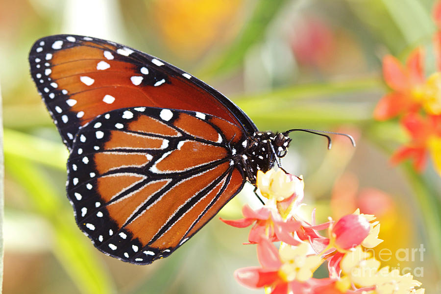 Monarch II Photograph  - Monarch II Fine Art Print