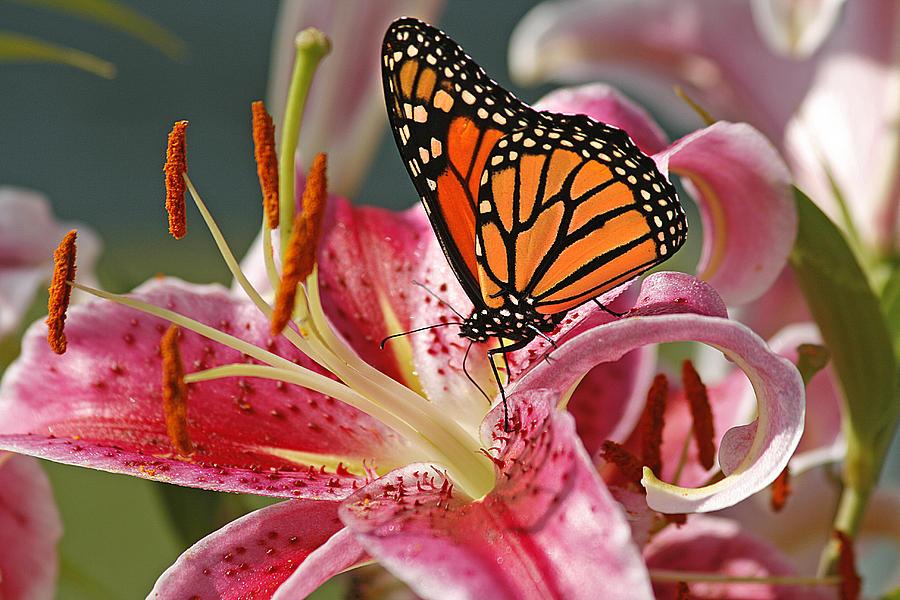 Monarch On A Stargazer Lily Photograph