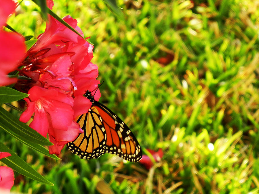 Monarch Photograph  - Monarch Fine Art Print