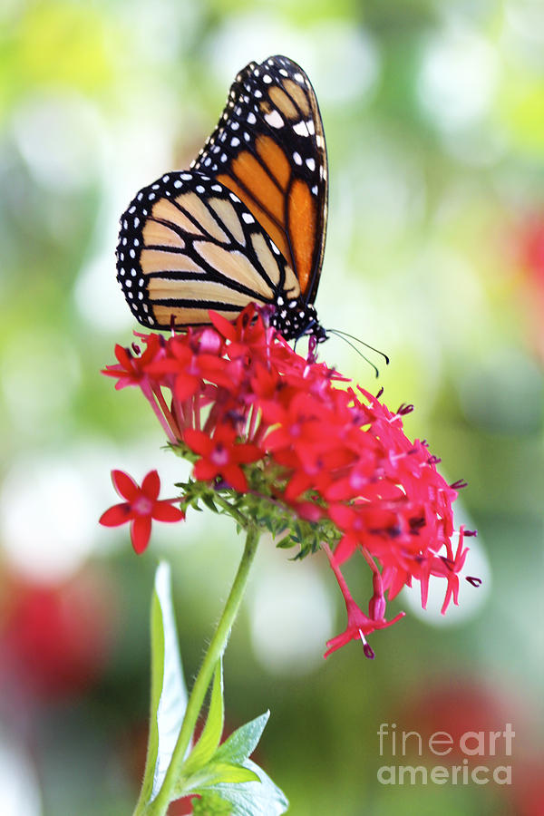 Monarch V Photograph  - Monarch V Fine Art Print