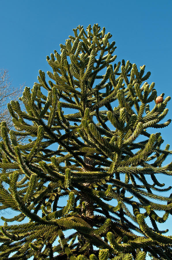 Monkey Puzzle Tree E Photograph By Tikvahs Hope