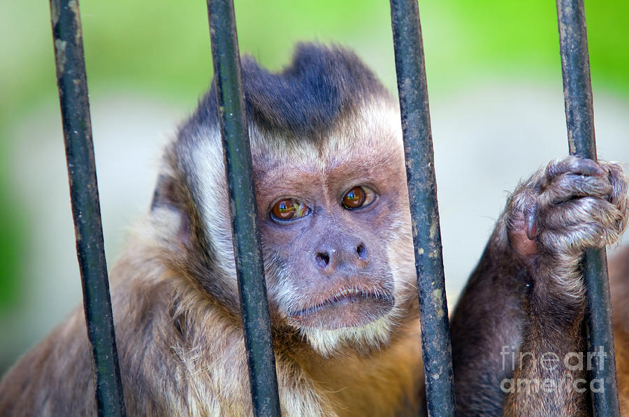 Monkey Species Cebus Apella Behind Bars Photograph By