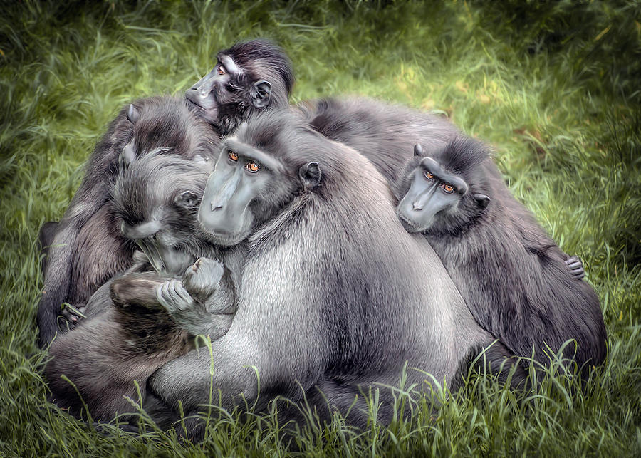 Download image Celebes Crested Macaque Monkey PC, Android, iPhone and ...