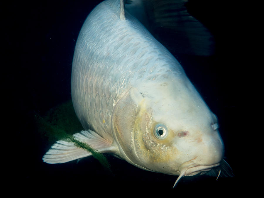 Monster white koi face to face photograph by jean noren for All white koi