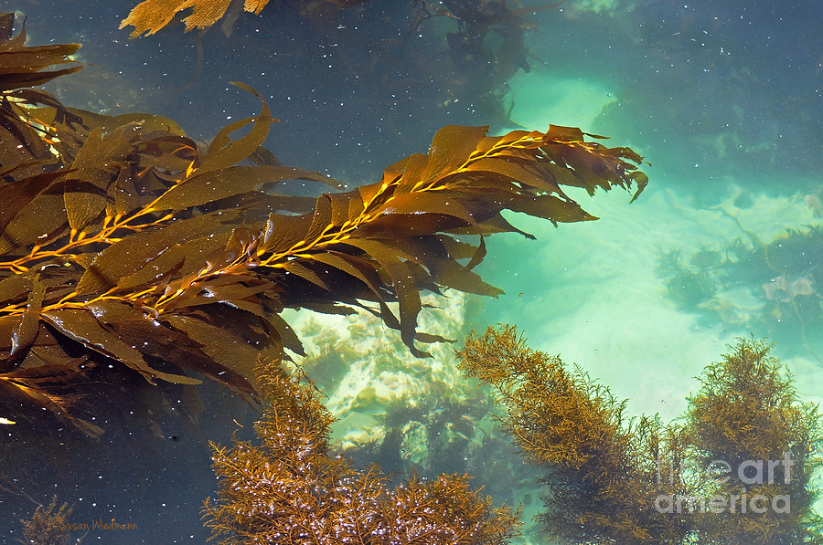 Monterey Bay Seaweed Photograph