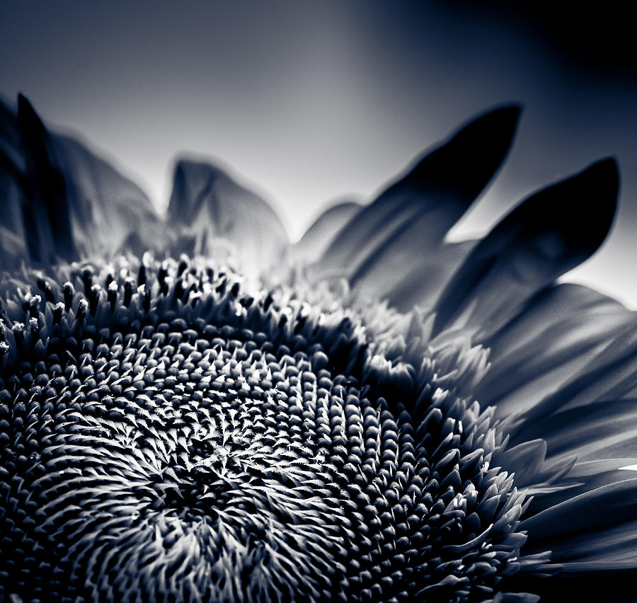 Moody Sunflower Photograph  - Moody Sunflower Fine Art Print