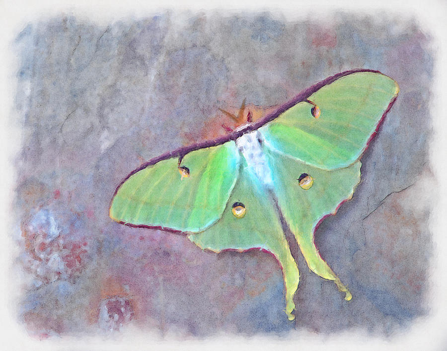 Moon Moth Actias Luna On Slate Rock Photograph