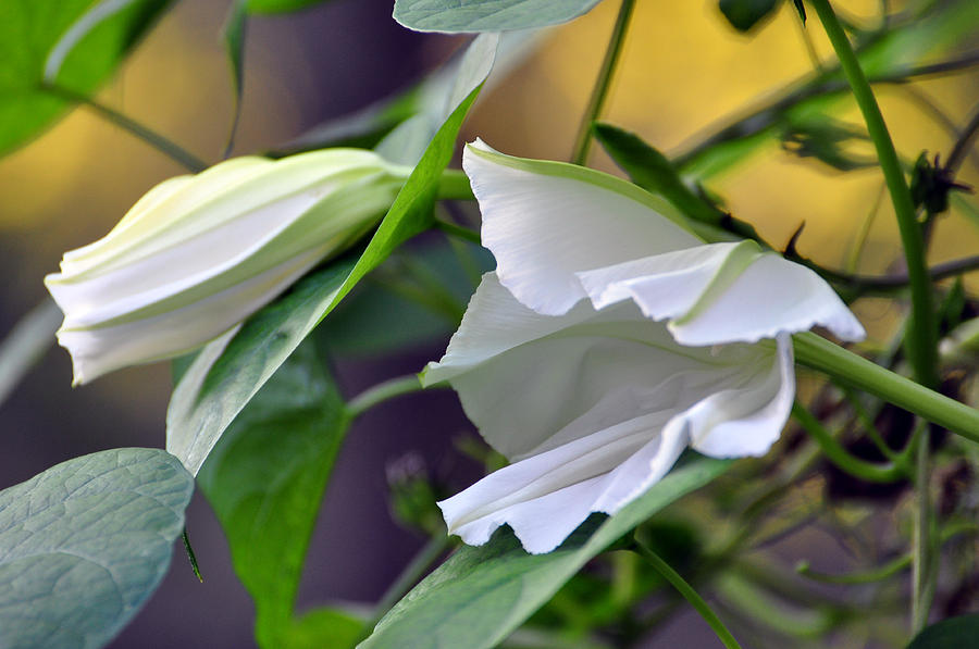 Moonflowers  Painting  - Moonflowers  Fine Art Print