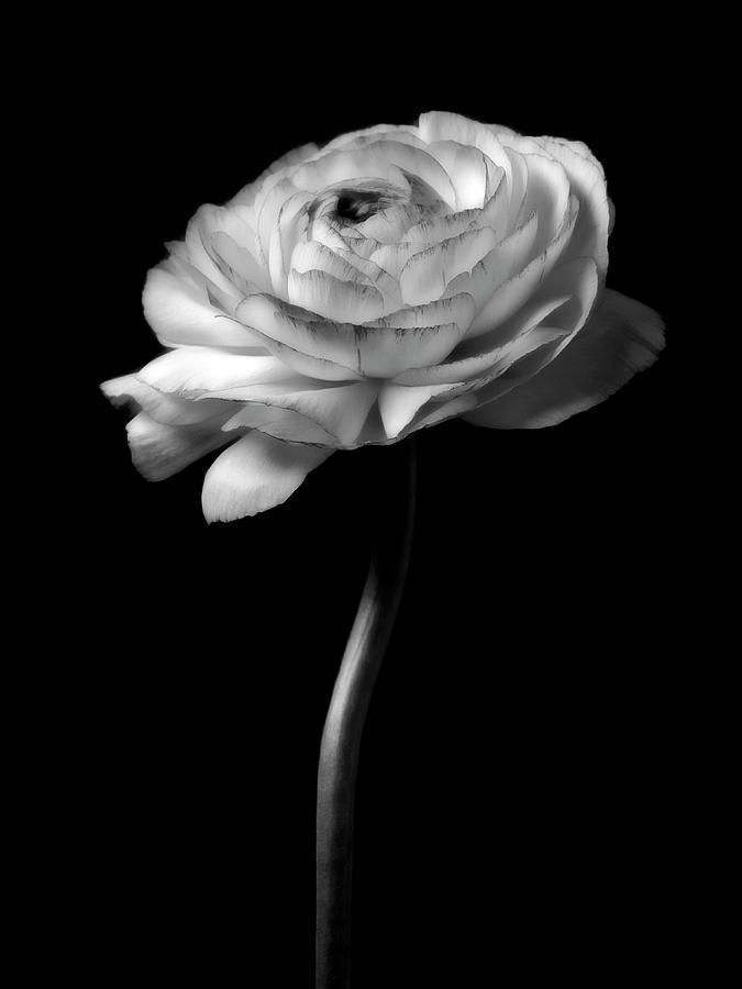 Moonlight Serenade - Closeup Black And White Rose Flower Photograph Photograph