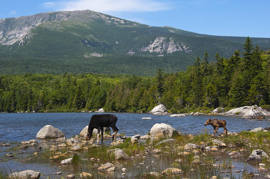 Moose Baxter State Park Maine Photograph By Glenn Gordon