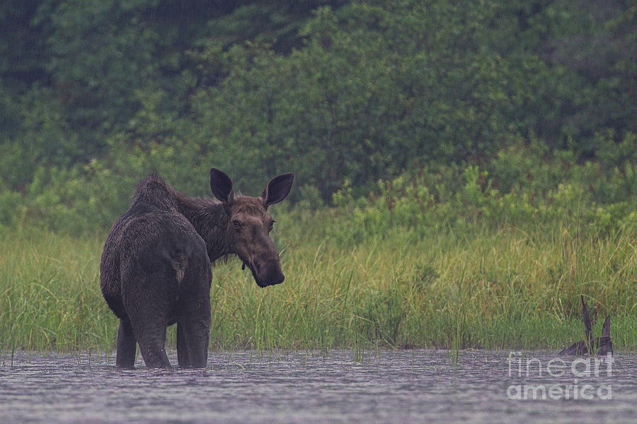 Moose In The Rainfall Photograph