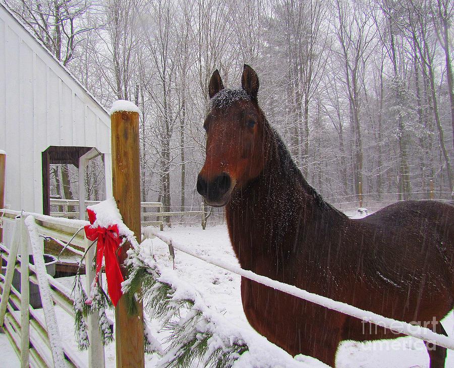 Morgan Horse Christmas Photograph