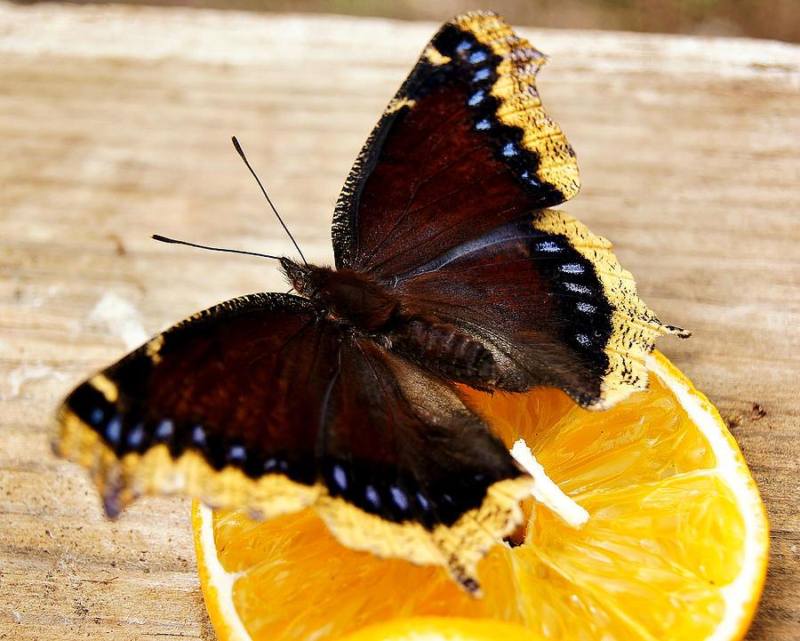 Morning Cloak Butterfly Photograph - Morning Cloak Butterfly by Carol Toepke