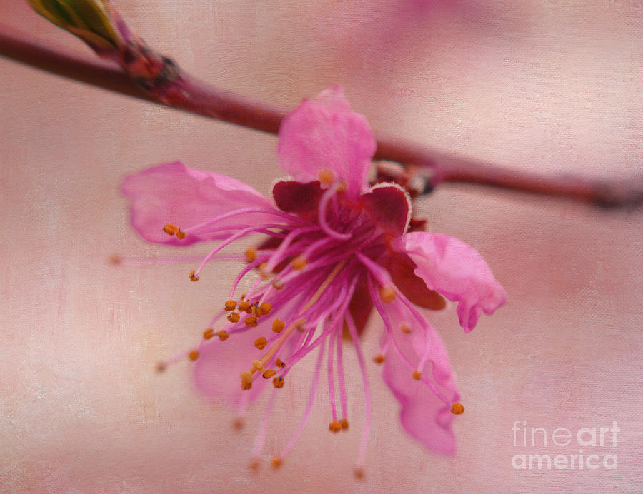 Cherry Blossom Macro Photograph - Morning Dance by Irina Wardas