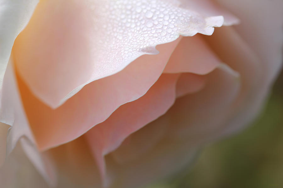 Morning Dew Peach Rose Flower Photograph
