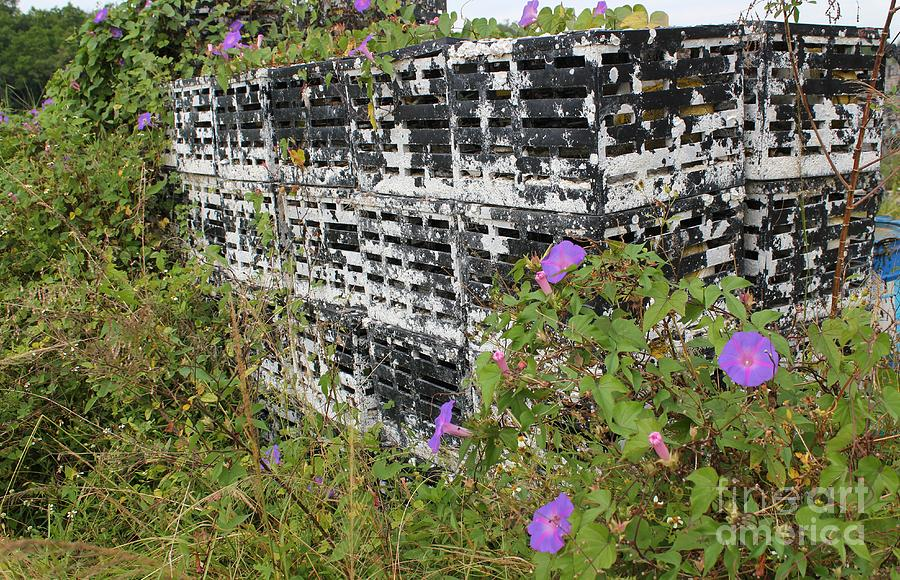 Morning Glories Photograph - Morning Glories And Crab Traps by Theresa Willingham