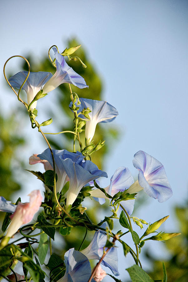 Morning Glories Photograph