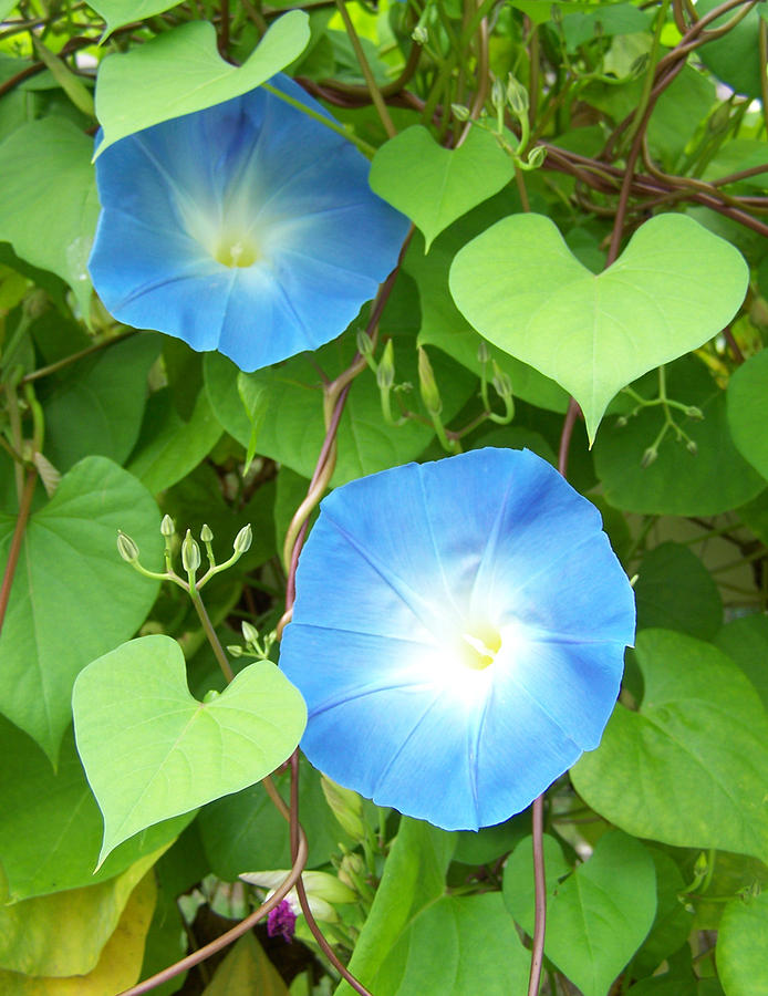 Morning Glories Photograph - Morning Glory by Noreen HaCohen