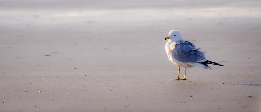 Morning Gull Photograph  - Morning Gull Fine Art Print