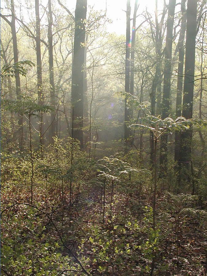Morning Mist In The Forest Photograph - Morning Mist In The Forest by Bill Cannon