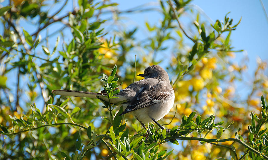 Morning Mockingbird Photograph  - Morning Mockingbird Fine Art Print