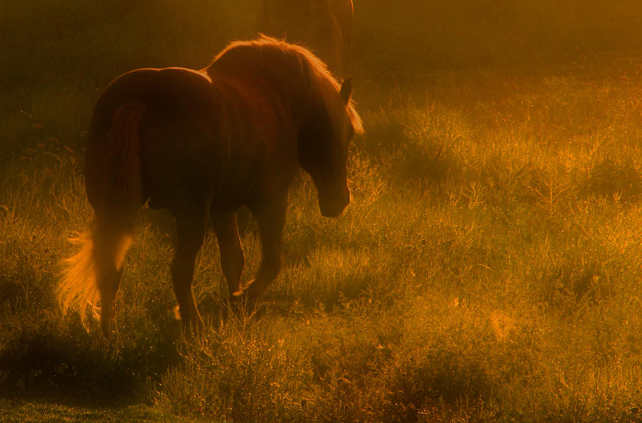Horse Morning Dawn Mist Animal Rural Print Photo Photograph Acrylic Canvas Metal Photograph - Morning Stroll by Jim Vance