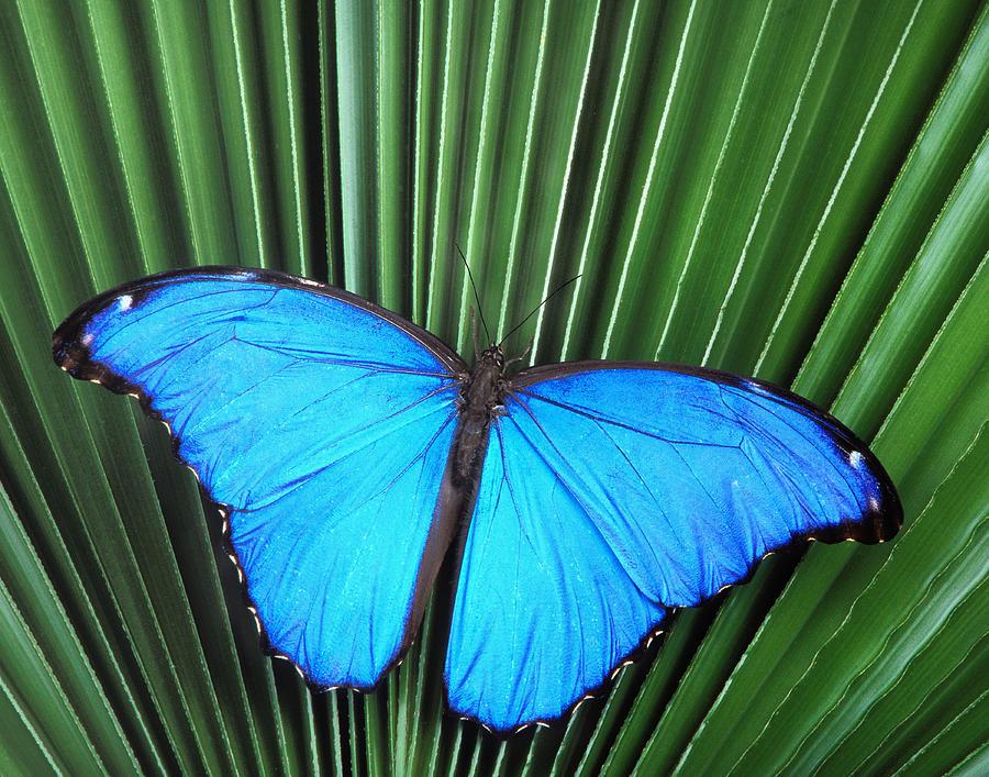 Morpho Butterfly On Fan Palm Photograph