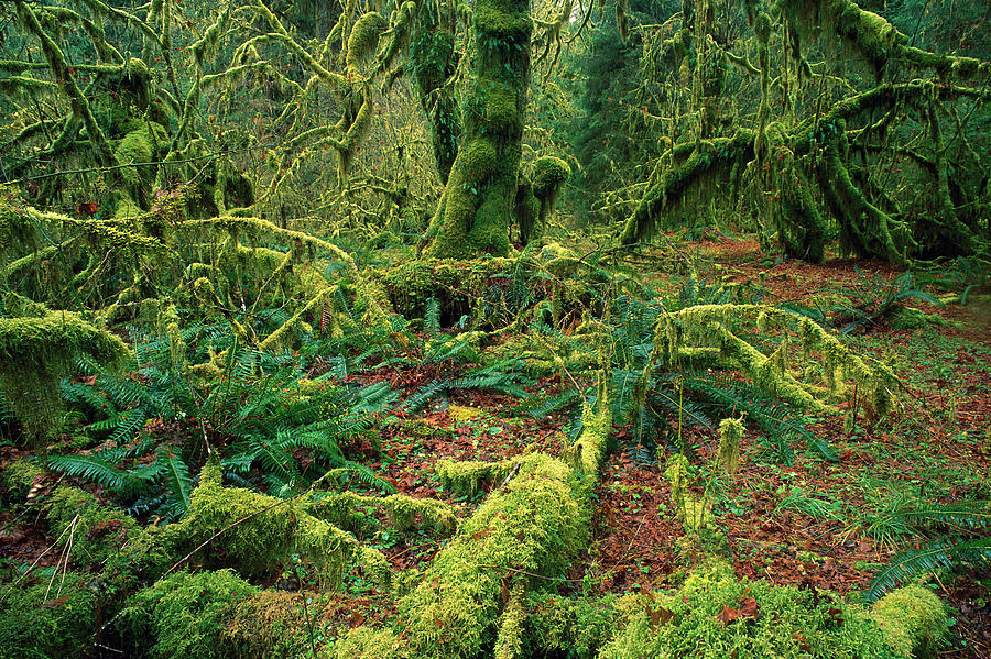 Moss And Ferns Hoh Rainforest is a photograph by Jean-Paul Ferrero ...