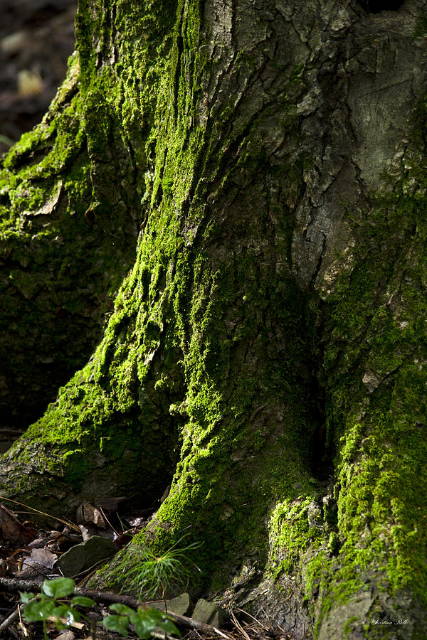 Moss Photograph - Moss Covered Tree Trunk by Christina Rollo