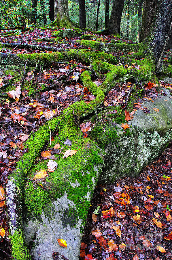 Moss Roots Rock And Fallen Leaves Photograph