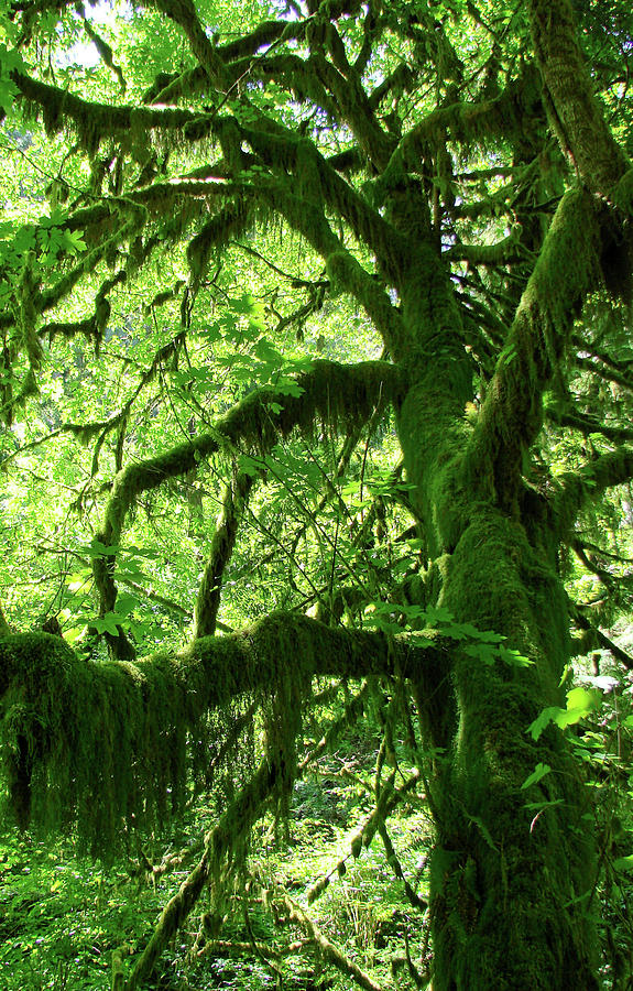 Mossy Tree Photograph
