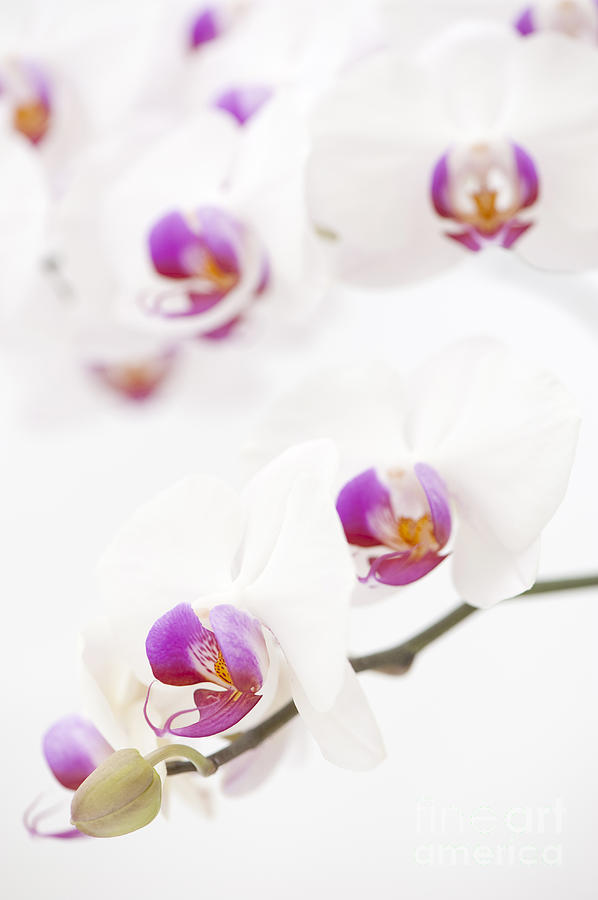 Moth Orchid Photograph