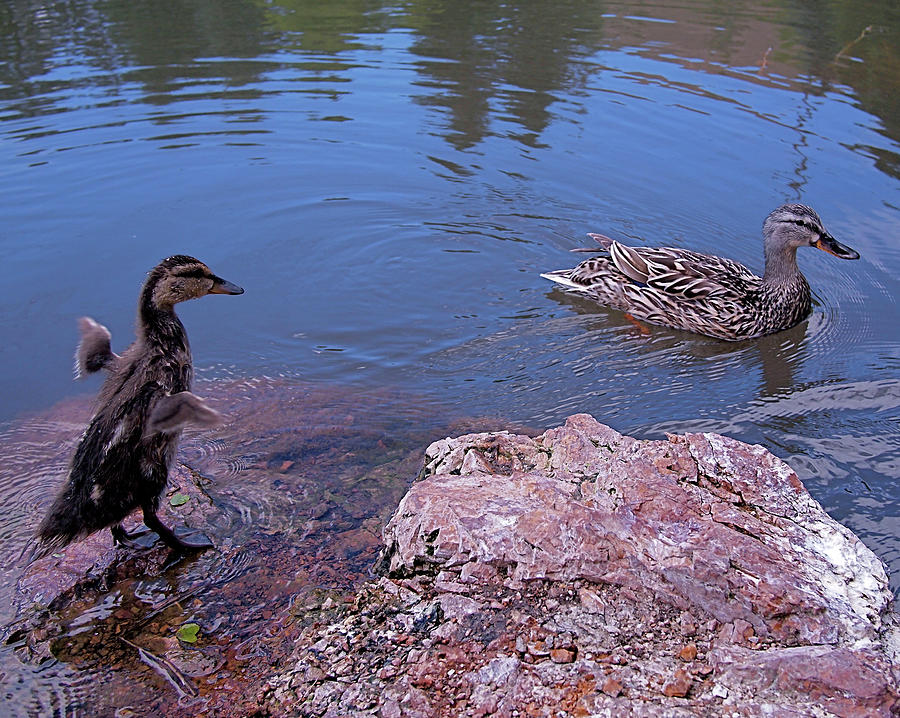 Mallard Photograph - Mother And Child by Rona Black