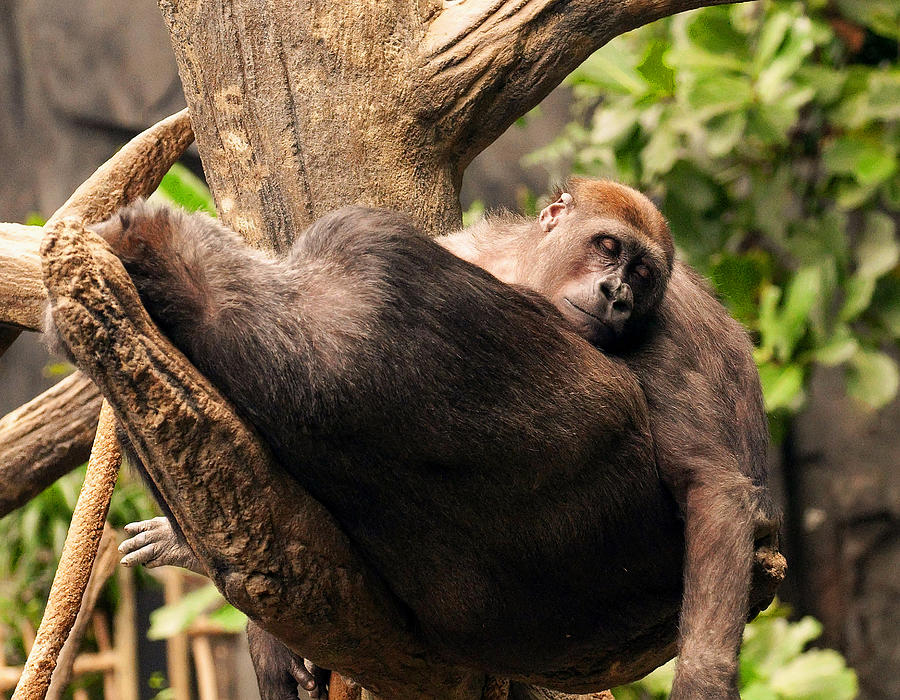 Mother And Youg Gorilla Sleeping In A Tree Digital Art