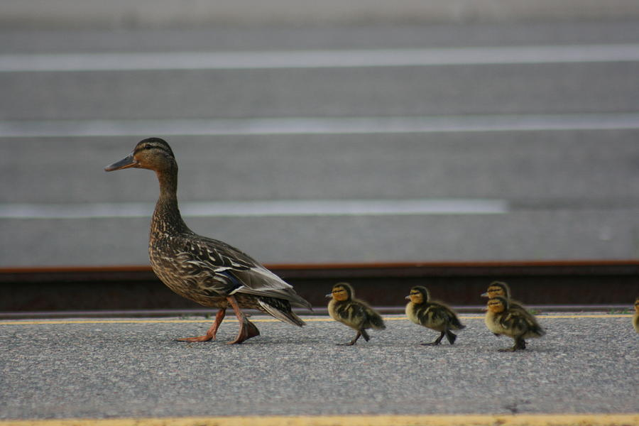 Mother Duck And Babies Photograph By Paula Brown