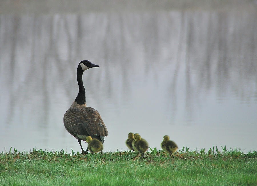 Mother Goose With Babies April 2009 Photograph  - Mother Goose With Babies April 2009 Fine Art Print