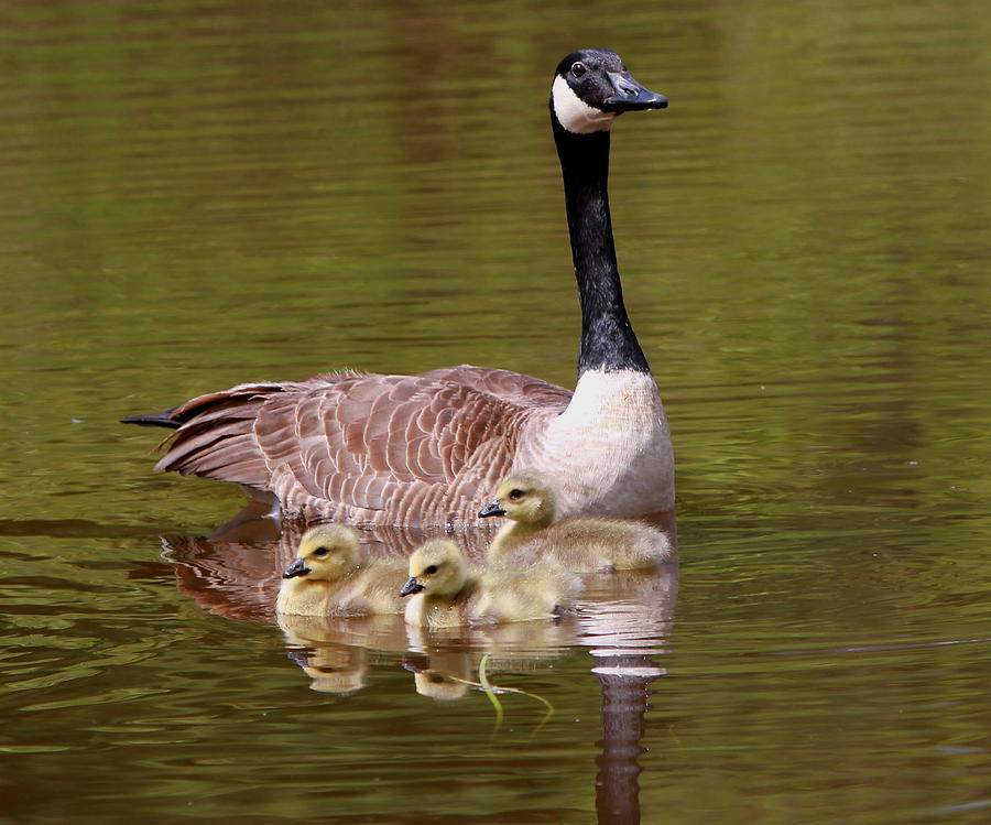 Mother Goose With Baby Geese Photograph