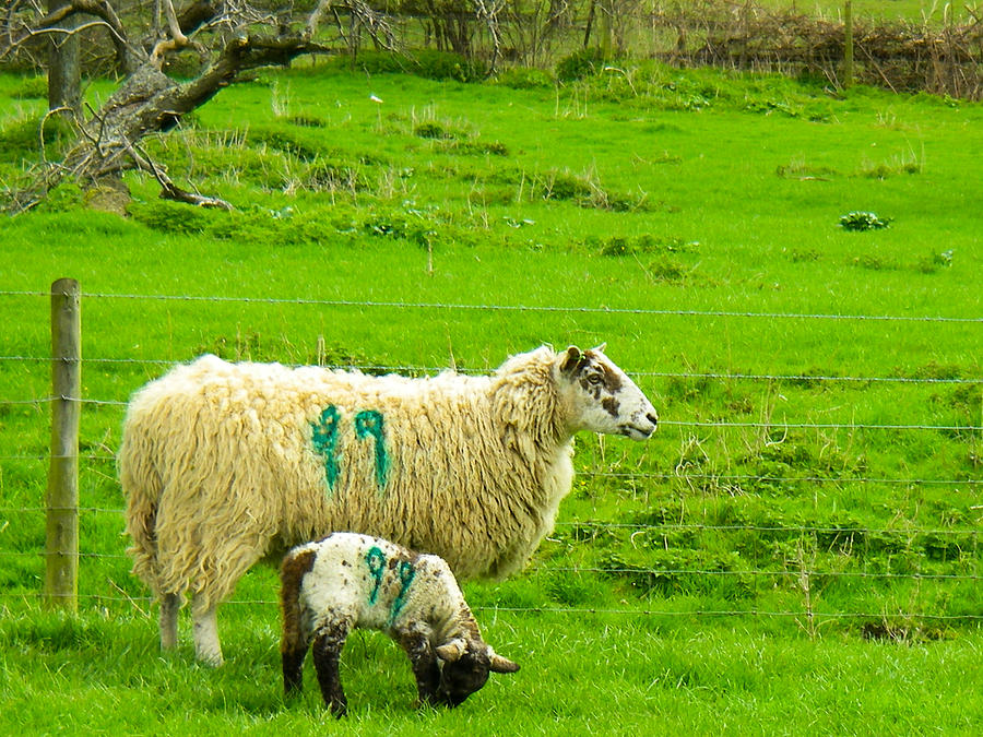 Mother Sheep And Lamb In Pasture Near Broadway Towers On A Hike On The Cotswold Way England Photograph