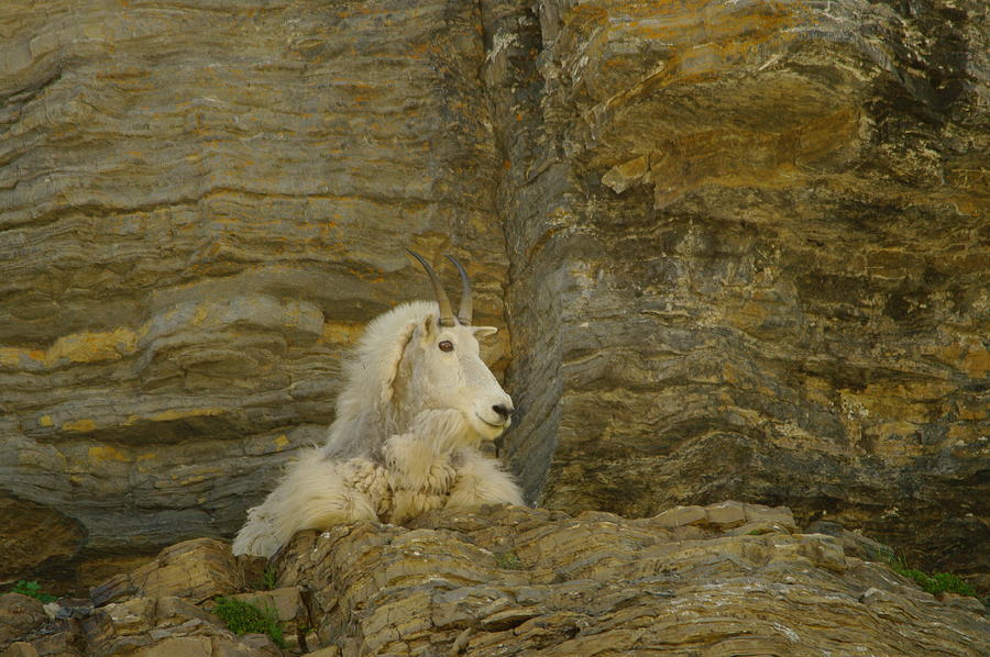 Mountain Goat Photograph