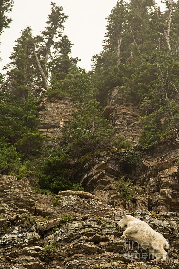 Mountain Goats In Glacier 2 Photograph