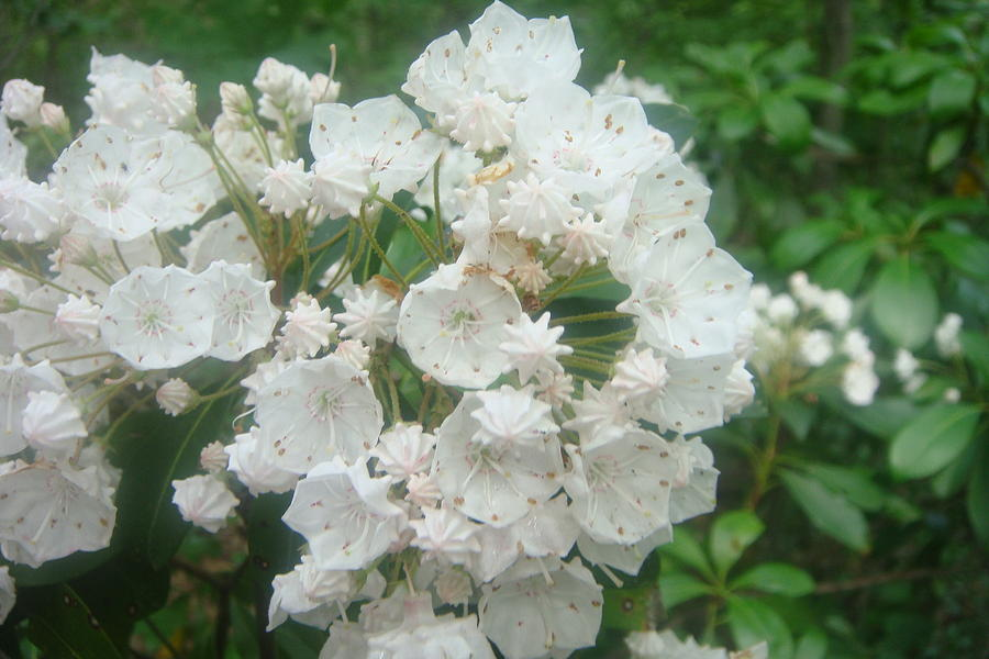 Mountain Laurel Close Up Photograph  - Mountain Laurel Close Up Fine Art Print
