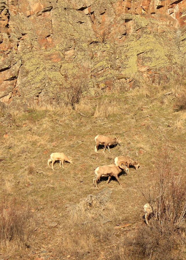 Mountain Sheep On Rocks Photograph  - Mountain Sheep On Rocks Fine Art Print