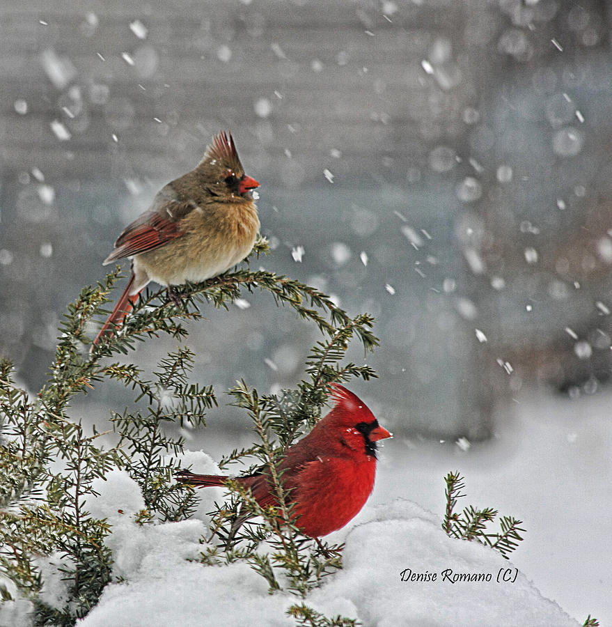 Birds Photograph - Mr. And Mrs. Cardinal by Denise Romano